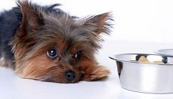 Прыщи у собаки: причины их появления